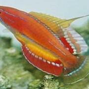 Рыба Парахейлин краснополосый Paracheilinus filamentosus фото