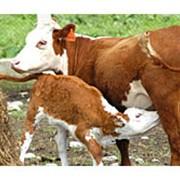 Заменители цельного молока,сухие фото