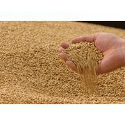 зерно пшеницы фуражной фото