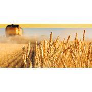Озимая пшеница (5 4 3-ий класс) фото