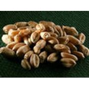 Пшеница продовольственная и фуражная фото