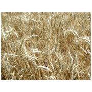 Пшеница сорт «Московская 39» (оригинатор – ГНУ НИИСХ центральных районов Нечерноземной зоны) фото