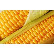 Кукуруза Алина фото