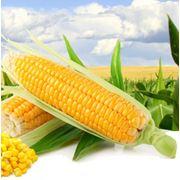 кукуруза СТК – 175 фото