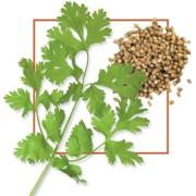 Семена кориандра Кин-дза-дза фото