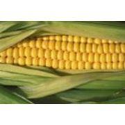 Крупяная культура-кукуруза фото