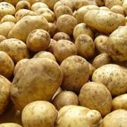 """Картофель сорт """"Каратоп"""" фото"""