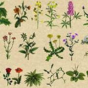 Травы и сборы лекарственные фото