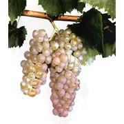 Саженцы винограда Алиготе Крым, продажа, консультация фото