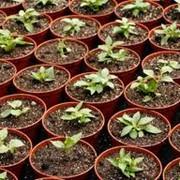 Петуния, петунии, цветы, рассада, цветоводство, тагетис, сальвия, саженцы фото