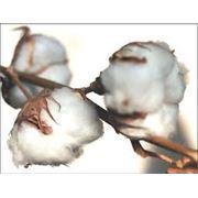Хлопок Китай семена хлопчатника фото