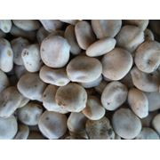 Зерно люпин белый безалкалоидный кормовой  оптом мешки по 52 кг фото