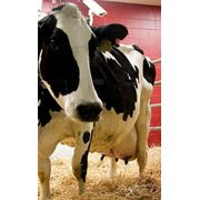 Денник для отела коров фото