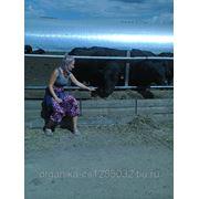Племенные быки абердин-ангусской породы. фото