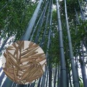 Семена Морозостойкого Гигантского Бамбука Phyllostachys Moso (25 шт) фото