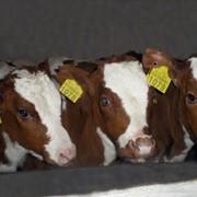 Коровы племенные фото