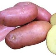 Картофель Розара фото