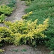 Можжевельник Средний Juniperus х media Gold Star фото