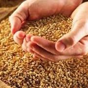 Сушка зерна, кукуруза фото