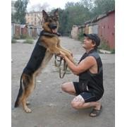 Вязка собак породы немецкая овчарка фото