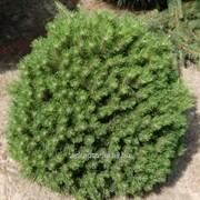 Сосна Pinus uncinata Hnizdo фото