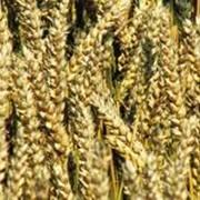 Пшеница твердая озимая посевная. Обработка зерна, производство крахмала, производство круп фото