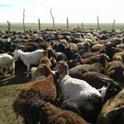 Овцы, бараны фото