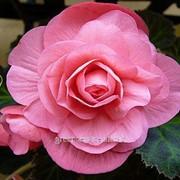 Бегония махровая Pink 4/5 фото