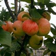 Яблоня Коричное фото