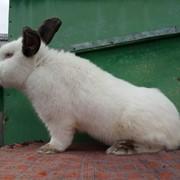 Кролики породи Каліфорнійські фото