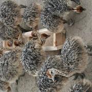 Молодняк страусов (страусята) фото