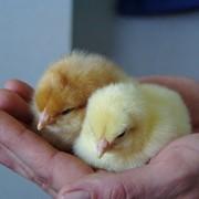 Курочки-несушки, племенное яйцо, суточный цыплята, племенные стада коров красной молочной породы. фото
