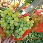 Черенки винограда ранних сортов, черенки винограда : Агрус(Лиза), саженцы винограда фото