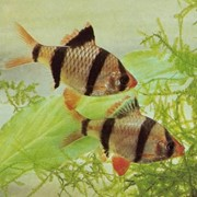 Рыба аквариумная Барбус-суматранус - Capoeta tetrazona tetrazona фото