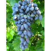 Саженцы винограда (сорт Кодрянка) фото