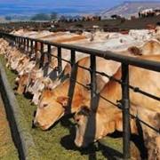 Выращивание коров фото
