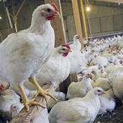 Продам подрощенных утят,цыплят,гусей фото