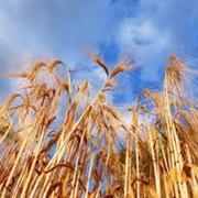 Семена озимого ячменя Сталкер фото