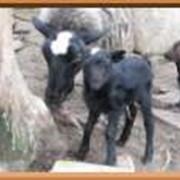 Овчина Романовской породы фото