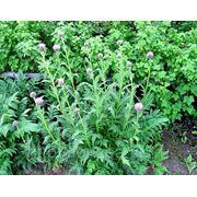 Левзея семена на 10 соток - 40 000 шт