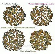 Левзея семена - 2000 шт на 1 сотку
