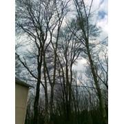 Спил деревьев фото