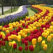 Тюльпаны ранние, поздние, видовые, махровые фото