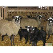 Племенные овцы фото