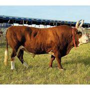 Крупно рогатый скот продажа фото