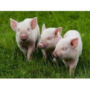 Комбикорма и отруби гранулированные для свиноводства фото