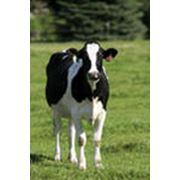 Сельскохозяйственные животные фото
