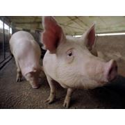 Свиньи живим весом фото