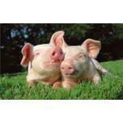 Свиньи в живом весе фото