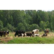 Молодняк крупного рогатого скота фото